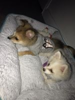 Pomeranian Puppies for sale in Cypress, TX, USA. price: NA