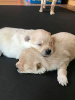 Pomeranian Puppies for sale in Kentwood, MI, USA. price: NA