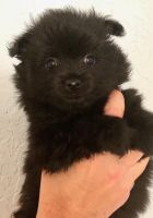 Pomeranian Puppies for sale in North Port, FL, USA. price: NA