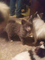 Pomeranian Puppies for sale in Bassett, VA 24055, USA. price: NA