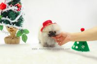 Pomeranian Puppies for sale in New York, NY, USA. price: NA