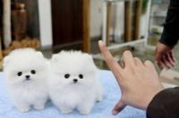 Pomeranian Puppies for sale in Helena, MT, USA. price: NA