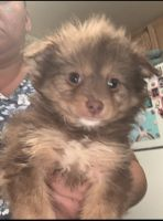 Pomeranian Puppies for sale in Lake Elsinore, CA, USA. price: NA