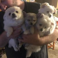 Pomeranian Puppies for sale in Forest Grove, OR 97116, USA. price: NA