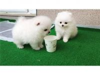Pomeranian Puppies for sale in USF Tampa Library, Tampa, FL 33620, USA. price: NA