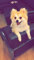 Pomeranian Puppies for sale in Kennesaw, GA, USA. price: NA