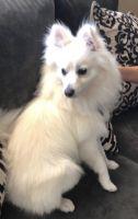 Pomeranian Puppies for sale in 1122 Estrella St, San Jacinto, CA 92582, USA. price: NA