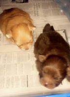 Pomeranian Puppies for sale in Norfolk, VA 23518, USA. price: NA