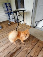 Pomeranian Puppies for sale in Trion, GA 30753, USA. price: NA