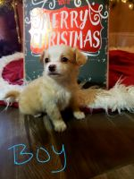 Pomeranian Puppies for sale in South Houston, TX, USA. price: NA