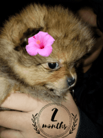 Pomeranian Puppies for sale in Atwater, MN 56209, USA. price: NA