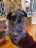 Pomeranian Puppies for sale in Dandridge, TN, USA. price: NA