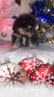Pomeranian Puppies for sale in Waterloo, IN 46793, USA. price: NA