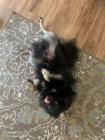 Pomeranian Puppies for sale in Alamo Ranch Pkwy, San Antonio, TX 78253, USA. price: NA
