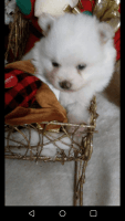 Pomeranian Puppies for sale in Melrose, FL 32666, USA. price: NA