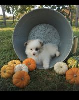 Pomeranian Puppies for sale in Claymont, DE 19703, USA. price: NA