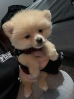 Pomeranian Puppies for sale in Lawrenceville, GA, USA. price: NA
