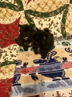 Pomeranian Puppies for sale in Madisonville, KY 42431, USA. price: NA