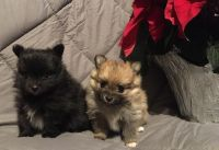 Pomeranian Puppies for sale in Canton, OH, USA. price: NA