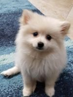 Pomeranian Puppies for sale in Woodland Park, NJ 07424, USA. price: NA