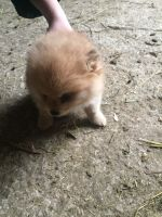 Pomeranian Puppies for sale in Fond du Lac, WI, USA. price: NA