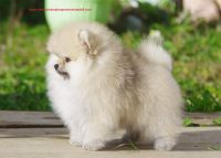 Pomeranian Puppies for sale in Killeen, TX, USA. price: NA