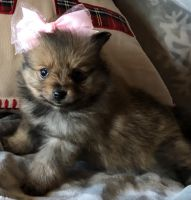 Pomeranian Puppies for sale in Fort Jennings, OH 45844, USA. price: NA