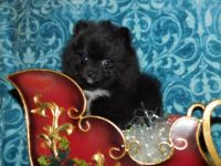 Pomeranian Puppies for sale in Victorville, CA, USA. price: NA