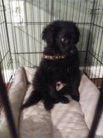 Pomeranian Puppies for sale in South Bend, IN, USA. price: NA