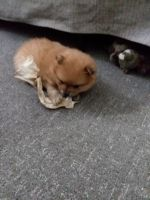 Pomeranian Puppies for sale in Columbus, OH, USA. price: NA