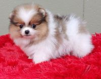 Pomeranian Puppies for sale in Jersey City, NJ, USA. price: NA