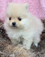 Pomeranian Puppies for sale in Seattle, WA, USA. price: NA