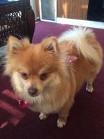 Pomeranian Puppies for sale in Toledo, OH, USA. price: NA