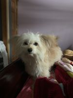 Pomeranian Puppies for sale in Essex Junction, Essex, VT, USA. price: NA