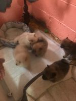 Pomeranian Puppies for sale in Cherry Hill, NJ, USA. price: NA
