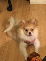 Pomeranian Puppies for sale in Chambersburg, PA, USA. price: NA