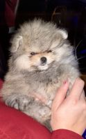 Pomeranian Puppies for sale in Miami Lakes, FL, USA. price: NA