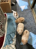 Pomeranian Puppies for sale in Fremont, CA 94536, USA. price: NA