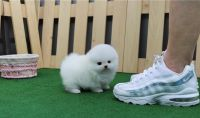 Pomeranian Puppies for sale in St Paul, MN, USA. price: NA