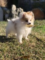 Pomeranian Puppies for sale in University Park, TX, USA. price: NA