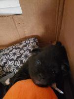 Pomeranian Puppies for sale in South Boston, VA 24592, USA. price: NA