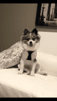 Pomeranian Puppies for sale in Baltimore, MD 21207, USA. price: NA