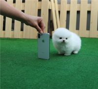 Pomeranian Puppies for sale in Sun City, AZ, USA. price: NA