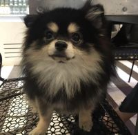 Pomeranian Puppies for sale in Fleetwood, NC 28626, USA. price: NA