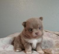Pomeranian Puppies for sale in Cherry Valley, CA, USA. price: NA