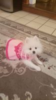 Pomeranian Puppies for sale in Oak Brook, IL 60523, USA. price: NA