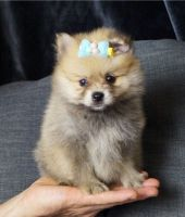 Pomeranian Puppies for sale in 908 W 5th St, Coffeyville, KS 67337, USA. price: NA