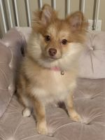 Pomeranian Puppies for sale in Augusta, GA, USA. price: NA