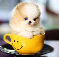 Pomeranian Puppies for sale in Reno, NV, USA. price: NA
