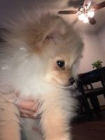 Pomeranian Puppies for sale in Shakopee, MN, USA. price: NA